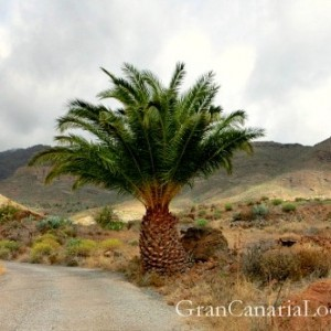 Las Tederas palm