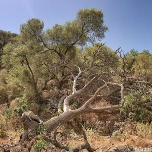 Barranco de los Cernicalos dead tree