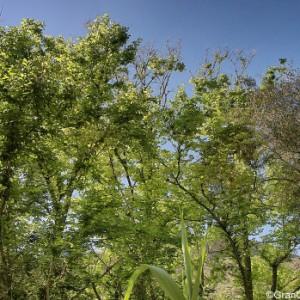 Barranco de los Cernicalos tall trees