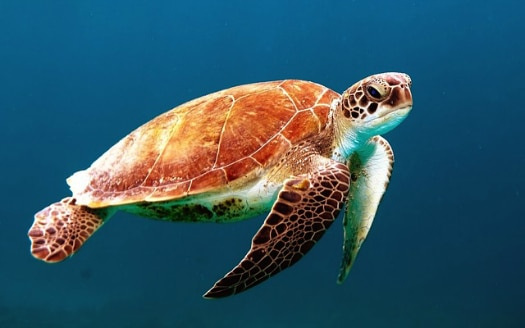 Sea turtles love swimming off Canarian shores
