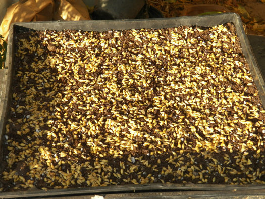 Barley: Gran Canaria's prehistoric grain