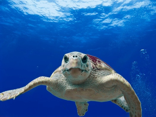 The Canary Islands nurture sea turtles