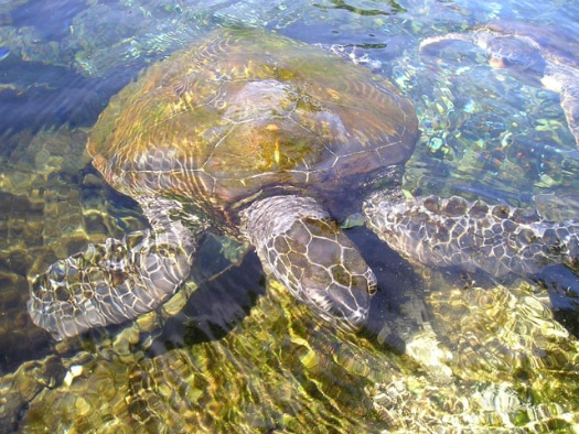 Sea turtles are native to the Canary Islands
