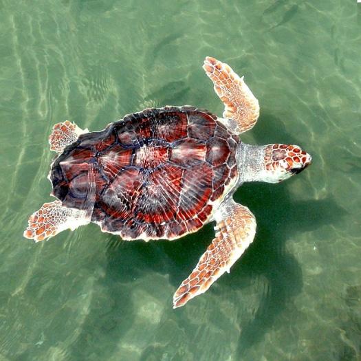 Sea turtle making a move